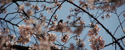 cerejeiras_sakura050806.jpg